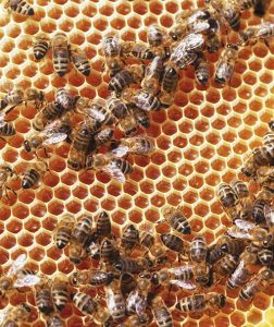 Bees Aren't Just Pollinators