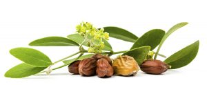 Jojoba Oil: A Hard Working Seed That's Gentle on Your Skin